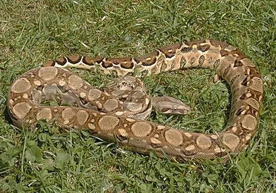 Les Boa constrictor.... Mexiqu10