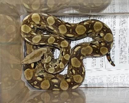 Les Boa constrictor.... Mexiqu12