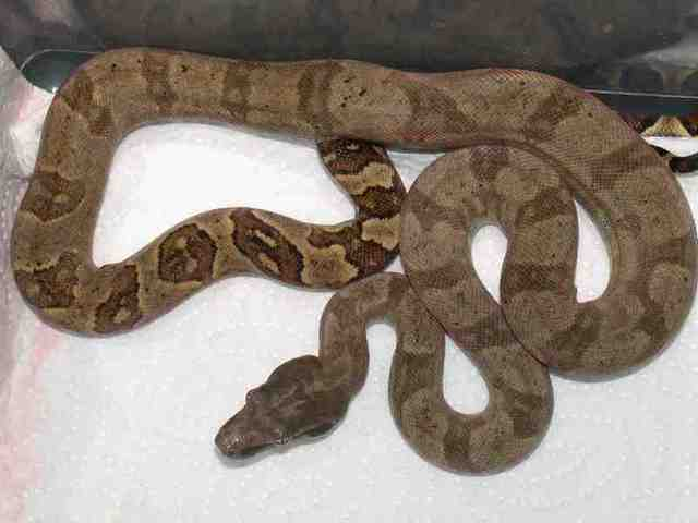 Les Boa constrictor.... Nebulo10
