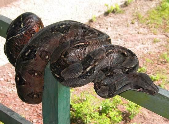 Les Boa constrictor.... Nicara10