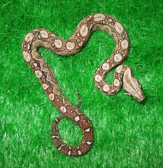 Les Boa constrictor.... Nicara11