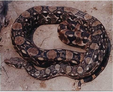 Les Boa constrictor.... Ortoni10