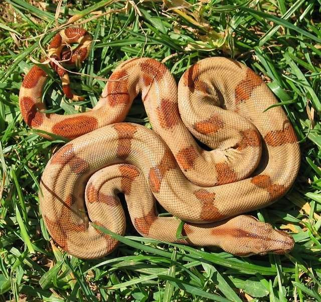 Les Boa constrictor.... Saboga10