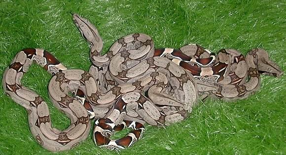 Les Boa constrictor.... Surina10