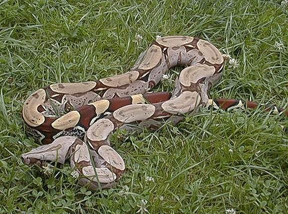 Les Boa constrictor.... Surina11