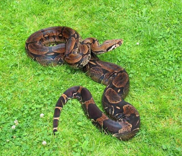 Les Boa constrictor.... Trinid10