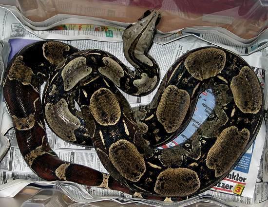 Les Boa constrictor.... Venezu10