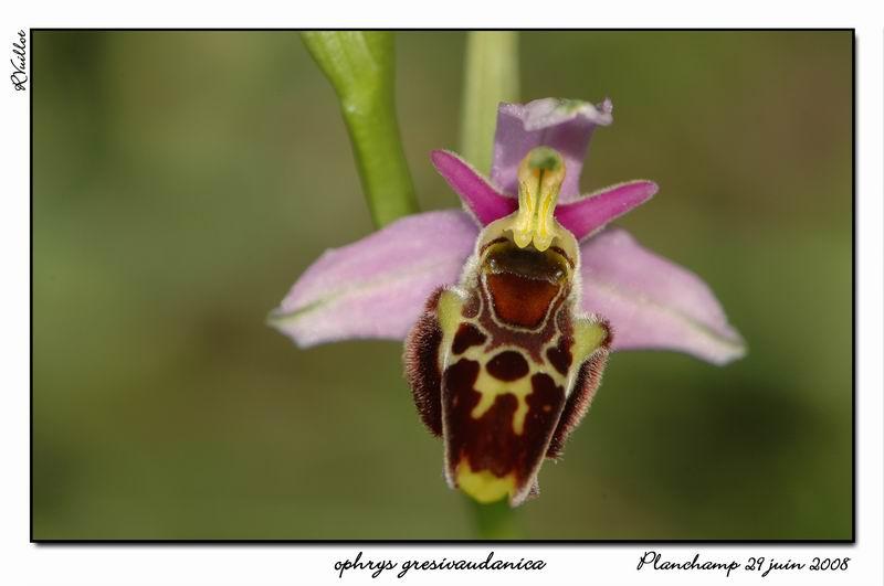 Ophrys gresivaudanica ( Ophrys du Grésivaudan ) 001_al10