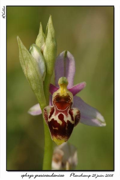 Ophrys gresivaudanica ( Ophrys du Grésivaudan ) 002_al10