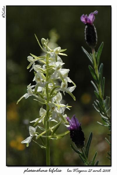 Platanthera bifolia ( Platanthère à deux feuilles ) 003-su10