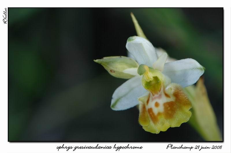 Ophrys gresivaudanica ( Ophrys du Grésivaudan ) 004_al10