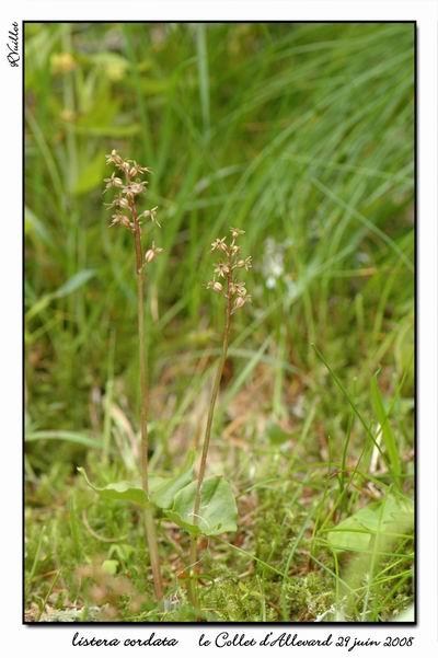 Neottia cordata (Listère cordée) 005_al10