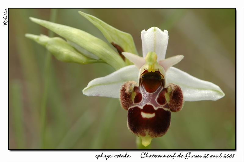 Ophrys vetula 013-su10