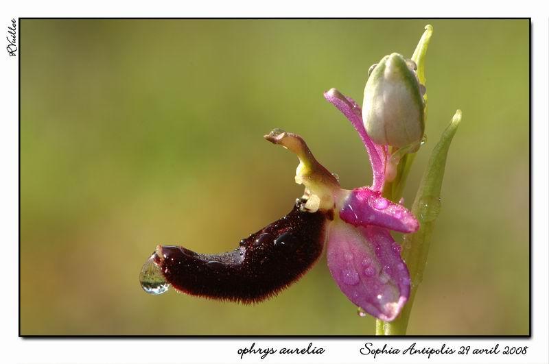 """Ophrys bertolonii bertolonii (""""aurelia"""") 016-su10"""