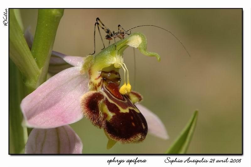 Ophrys apifera (Ophrys abeille ) 020-su10