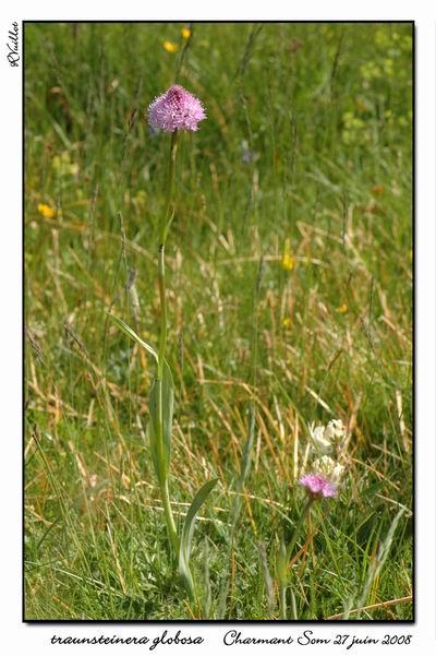 Traunsteinera globosa  ( Orchis globuleux ) 03fdsc10