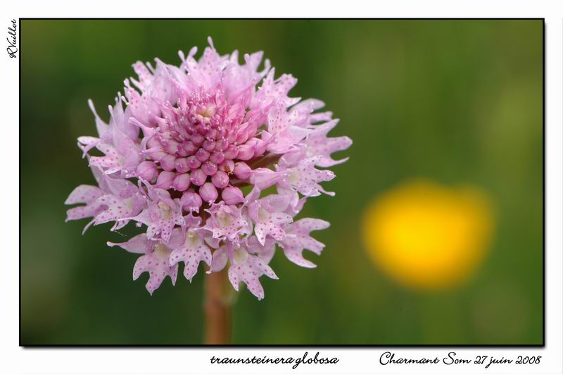 Traunsteinera globosa  ( Orchis globuleux ) 04fdsc10