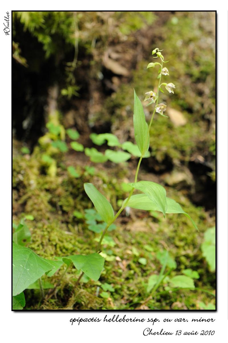 Epipactis helleborine subsp minor... photos 10-08-10