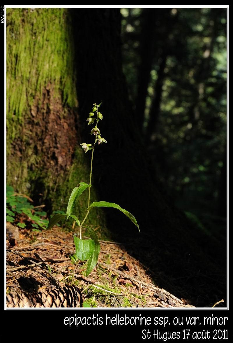 Epipactis helleborine subsp minor... photos 11-08-22