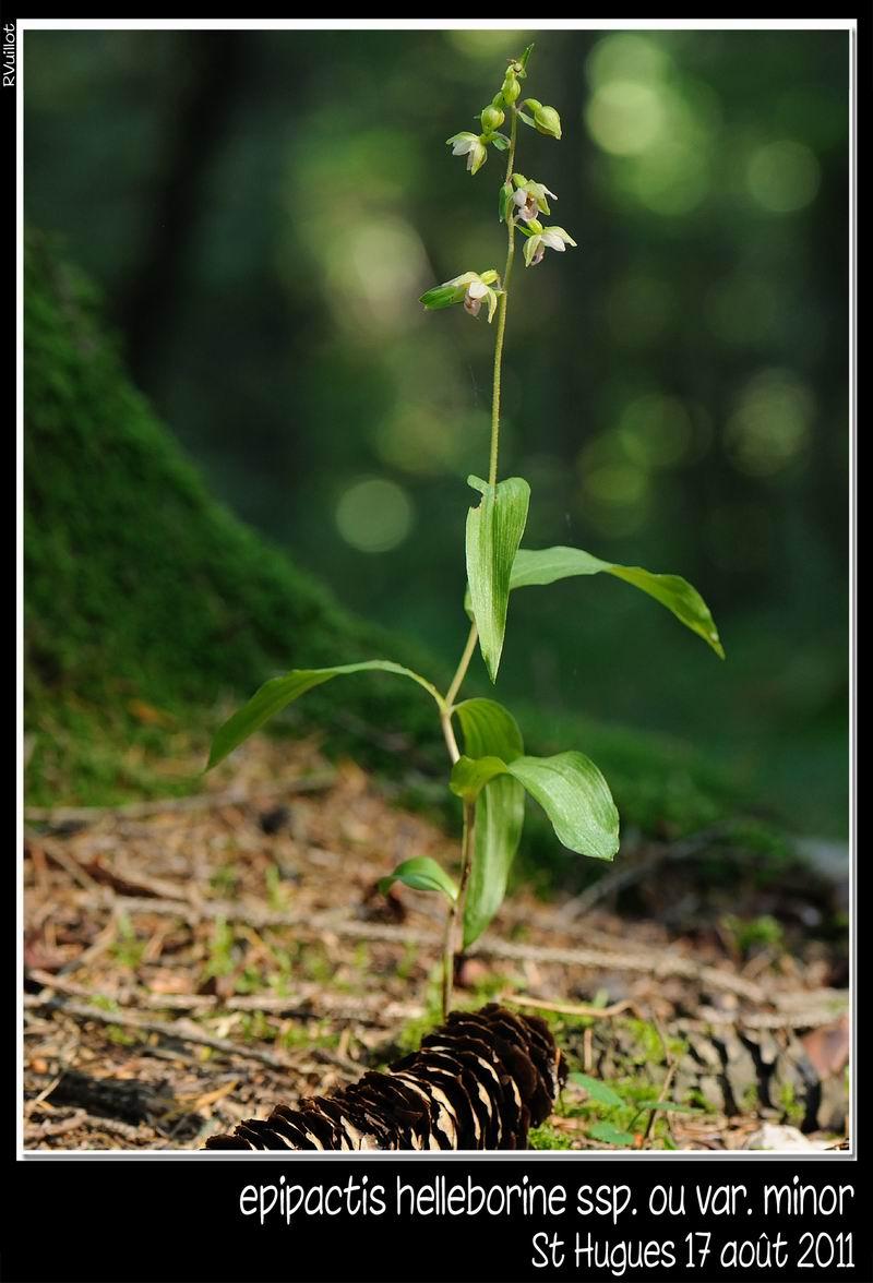 Epipactis helleborine subsp minor 11-08-23