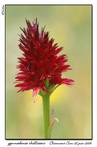 Gymnadenia ( Nigritella ) rhellicani ( N. de Rellikon ) 11fdsc10