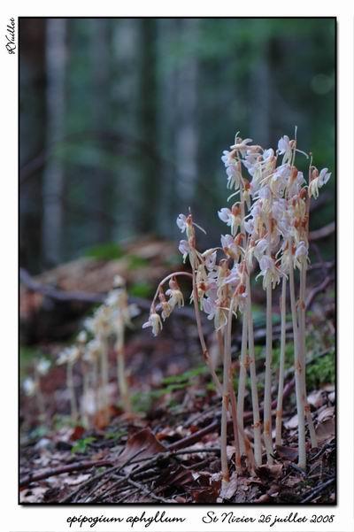 Epipogium aphyllum  ( Epipogon sans feuille ) Epipo010