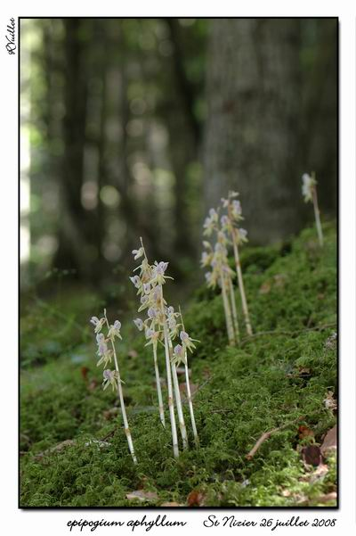 Epipogium aphyllum  ( Epipogon sans feuille ) Epipo011