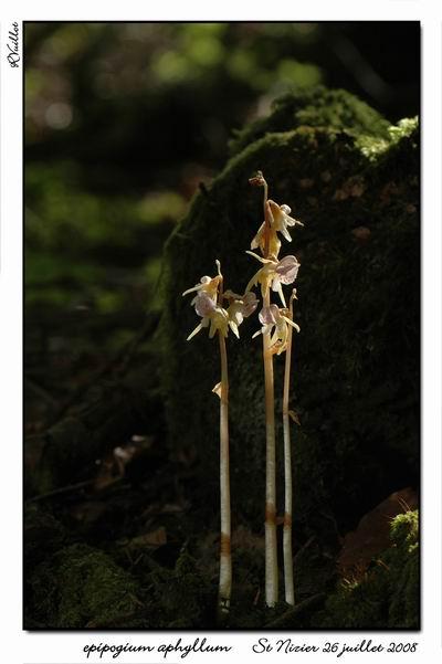 Epipogium aphyllum  ( Epipogon sans feuille ) Epipo012