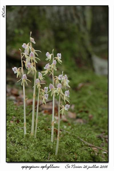Epipogium aphyllum  ( Epipogon sans feuille ) Epipo013