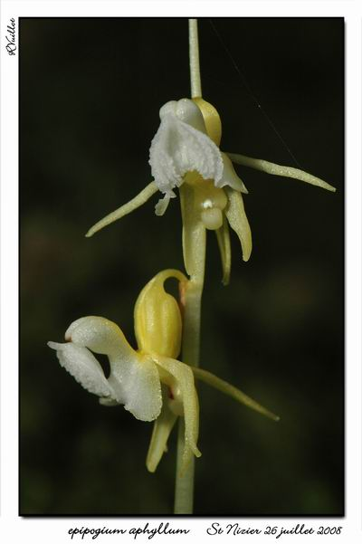 Epipogium aphyllum  ( Epipogon sans feuille ) Epipo015