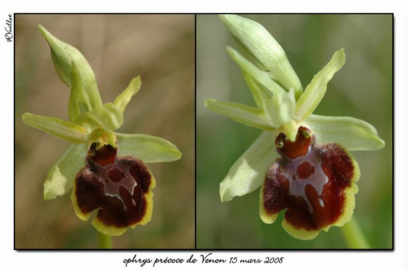 Ophrys araneola precoce - Page 2 Fdsc_310