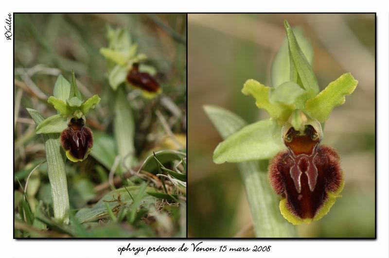 Ophrys araneola precoce - Page 2 Fdsc_312