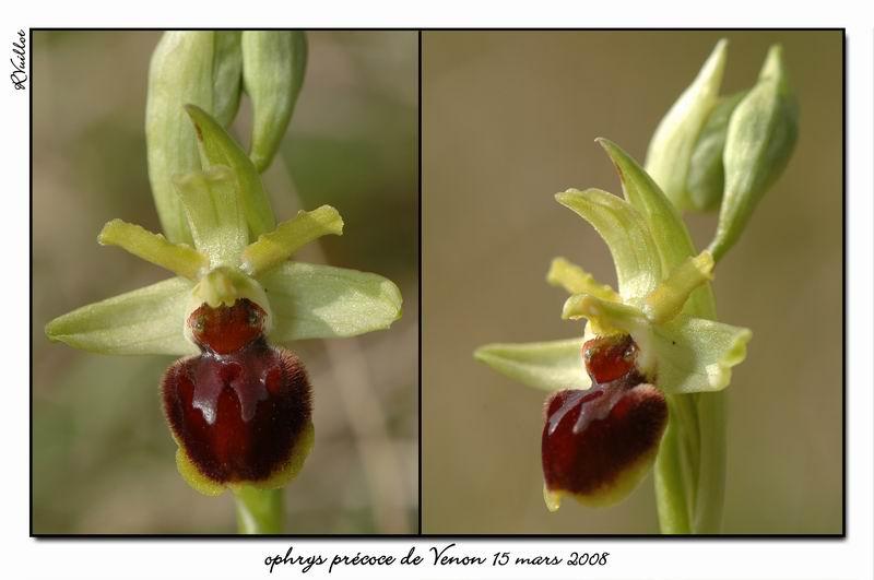 Ophrys araneola precoce - Page 2 Fdsc_313