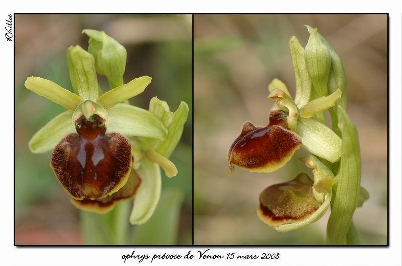Ophrys araneola precoce - Page 2 Fdsc_314