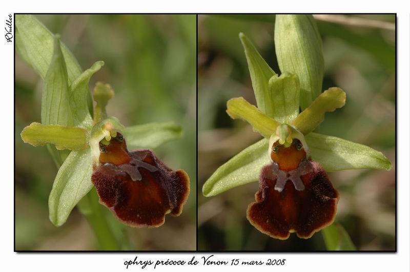 Ophrys araneola precoce - Page 2 Fdsc_316