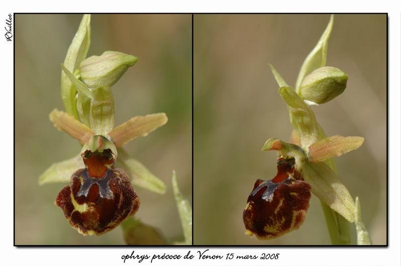 Ophrys araneola precoce - Page 2 Fdsc_317