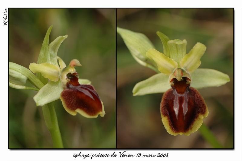 Ophrys araneola precoce - Page 2 Fdsc_318