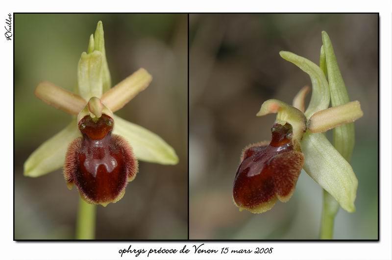 Ophrys araneola precoce - Page 2 Fdsc_319