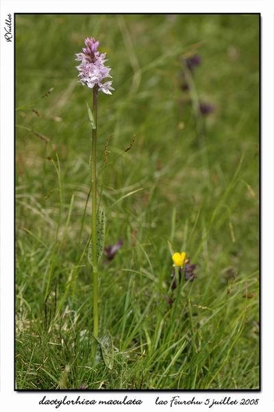 Dactylorhiza maculata ( Orchis maculé ) Fourch20