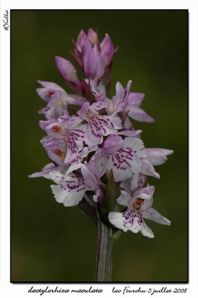 Dactylorhiza maculata ( Orchis maculé ) Fourch21