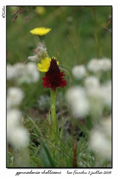 Gymnadenia ( Nigritella ) rhellicani ( N. de Rellikon ) Fourch32