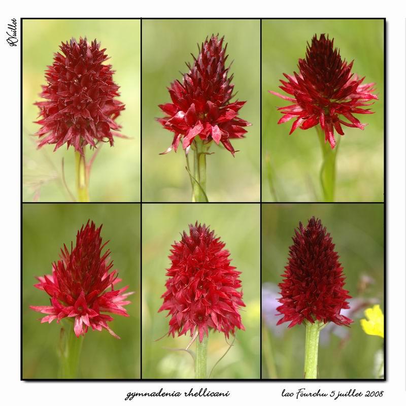 Gymnadenia ( Nigritella ) rhellicani ( N. de Rellikon ) Fourch33