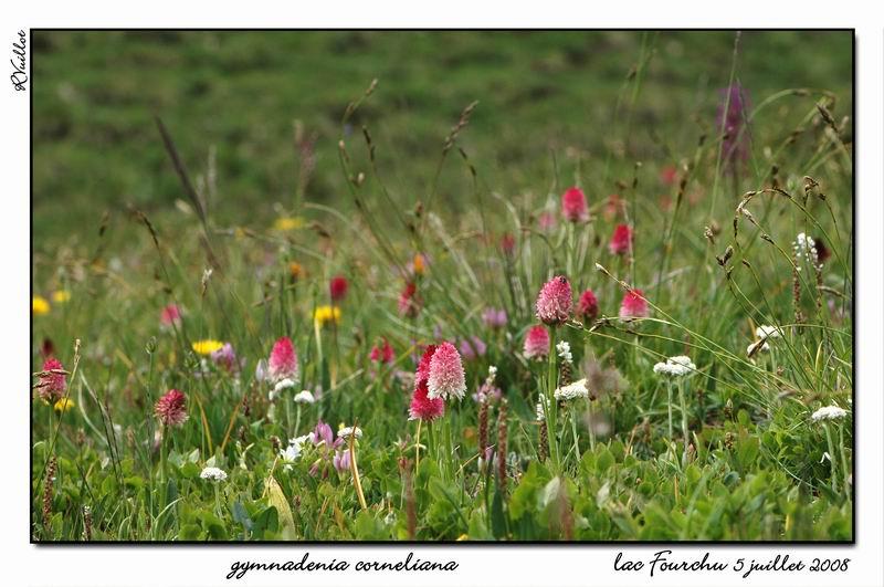Gymnadenia ( Nigritella ) corneliana ( N.de Cornelia ) Fourch36