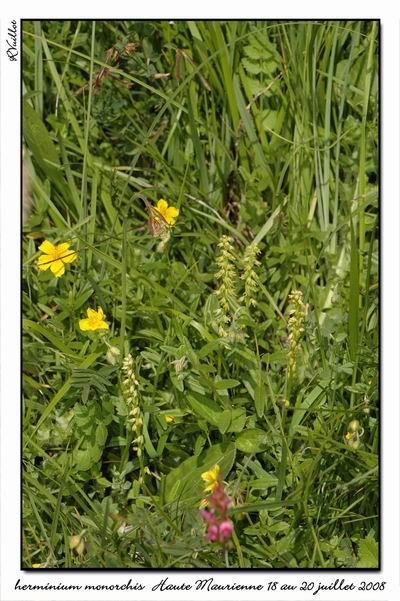 Herminium monorchis ( Orchis musc ) Htemau17