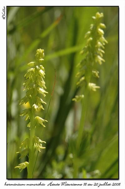 Herminium monorchis ( Orchis musc ) Htemau18