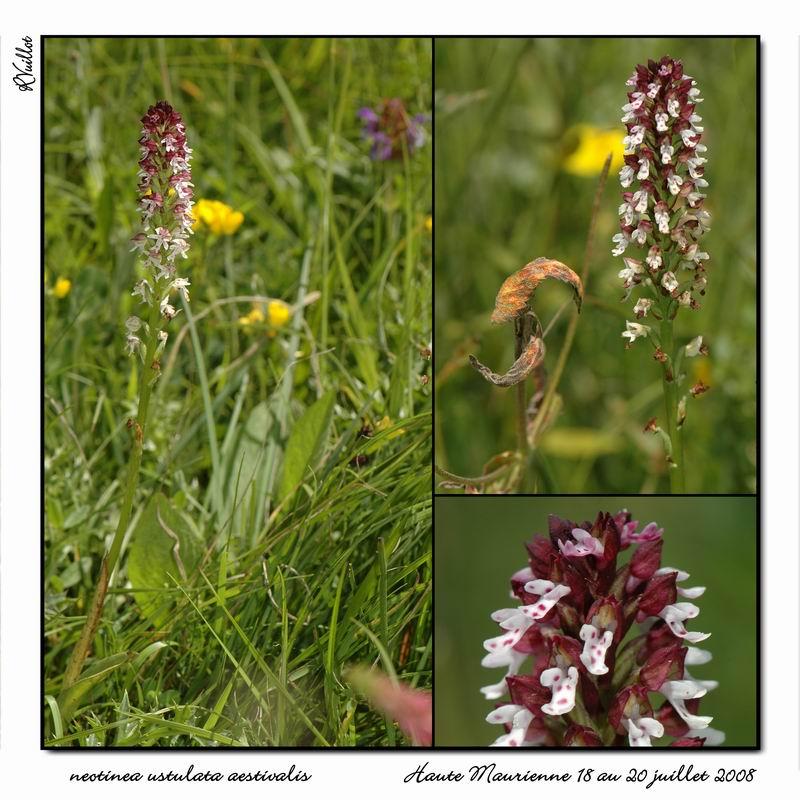 Neotinea ustulata subsp . aestivalis ( Orchis brûlé d'été ) Htemau19