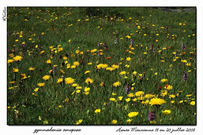 Gymnadenia conopsea (Orchis moucheron) Htemau35