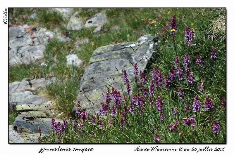 Gymnadenia conopsea (Orchis moucheron) Htemau36