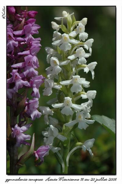 Gymnadenia conopsea (Orchis moucheron) Htemau37