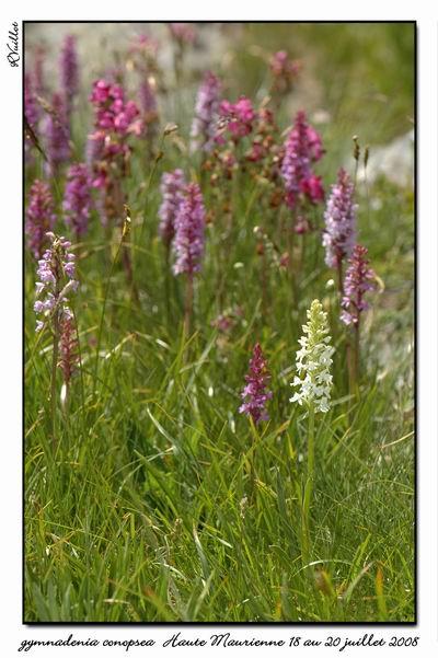 Gymnadenia conopsea (Orchis moucheron) Htemau38